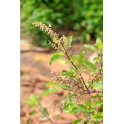 Bazalka posvátná - tulsí semena