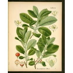 Maté - cesmína paraguyská semena 10ks