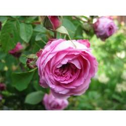 Růže stolistá - bylinné kapky (tinktura) 50 ml